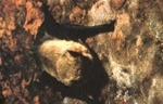 Pipistrellus hesperus