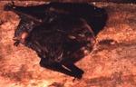Plecotus rafinesquii