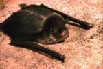 Pteronotus dauyi