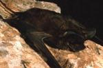 Tadarida macrotis