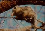 Didelphis virginiana Virginia oppossum