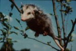 Didelphis virginiana - Virginia oppossum
