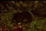 Blarina brevicauda - Northern short-tailed shrew