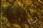 Cryptotis parva - American least shrew