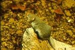 Notiosorex crawfordi - Desert shrew or gray shrew