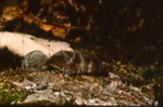 Sorex cinereus - Masked or cinereus shrew