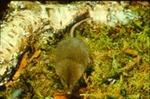 Sorex fumeus - Smoky shrew
