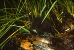 Sorex palustris - American water shrew