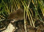 Sorex vagrans - Vagrant shrew