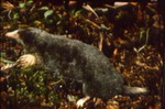 Parascalops breweri - Hairy-tailed mole; Brewer's mole