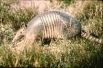 Dasypus novemcinctus - Nine-banded armadillo