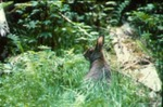 Lepus americanus - Snowshoe, or varying, hare