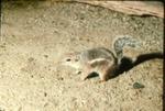 Ammospermophilus harrisii - Harris' antelope-squirrel