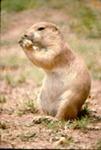Cynomys leucurus - White-tailed prairie dog