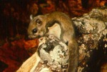 Glaucomys volans - Southern flying squirrel
