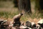 Marmota flaviventris nosophora - Yellow-bellied marmot
