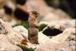 Marmota flaviventris luteola - Yellow-bellied marmot