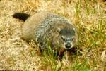 Marmota monax - Woodchuck