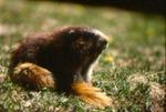 Marmota olympus - Olympic marmot