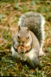 Sciurus carolinensis - Eastern gray squirrel