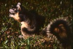 Sciurus niger - Fox squirrel