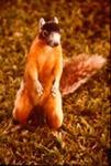 Sciurus niger avicennia - Fox squirrel
