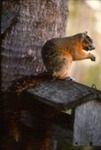 Sciurus niger avicennia - Fox squirrel