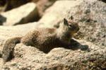 Spermophilus beecheyi - Beechey's, or California, ground squirrel