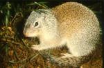 Spermophilus franklinii - Franklin's ground squirrel
