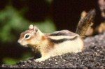 Spermophilus lateralis - Golden mantled ground squirrel