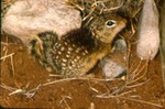 Spermophilus mexicanus - Mexican ground squirrel