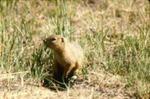 Spermophilus richardsonii - Richardson's ground squirrel