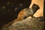 Spermophilus variegatus - Rock squirrel