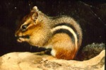 Tamias striatus - Eastern chipmunk