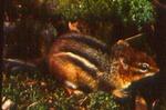 Tamias striatus - Eastern chipmunk