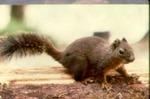 Tamiasciurus douglasii - Douglas' squirrel