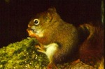 Tamiasciurus hudsonicus - Red squirrel