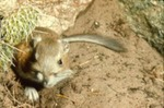 Dipodomys ordii - Ord's kangaroo rat