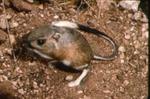 Dipodomys spectabilis - Banner-tailed kangaroo rat