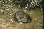 Perognathus amplus - Arizona pocket mouse