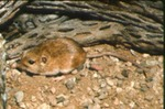 Perognathus amplus - Arizona pocket mouse