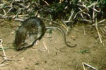 Liomys irroratus - Mexican spiny pocket mouse
