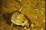 Perognathus penicillatus