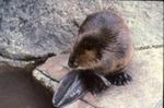 Castor canadensis - Beaver