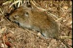 Microtus montanus