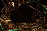 Microtus pennsylvanicus pullatus