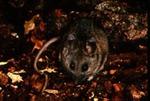 Peromyscus californicus