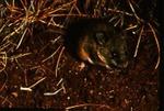 Peromyscus eremicus