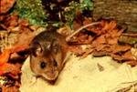 Peromyscus gossypinus