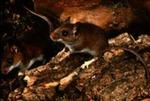 Peromyscus leucopus